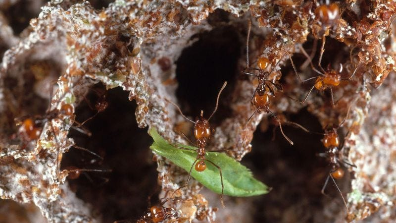 Illustration for article titled Ant Colony Comes To Halt After Death Of Popular Worker