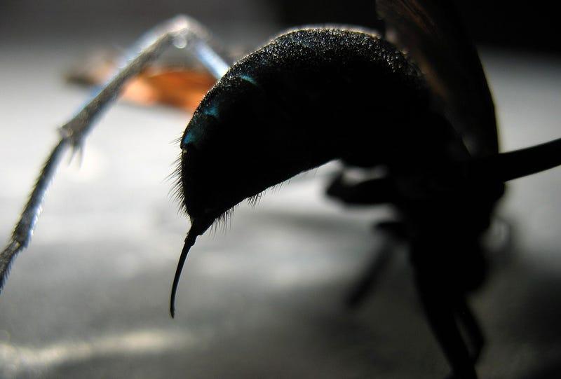 El terrorífico aguijón de la avispa caza-tarántulas. Foto: Wikipedia
