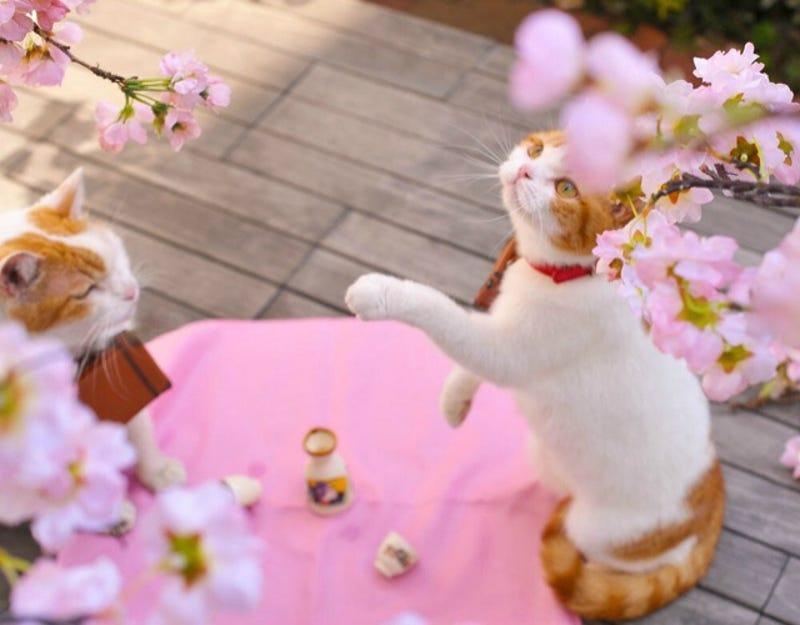 Resultado de imagen para spring at japan with cats
