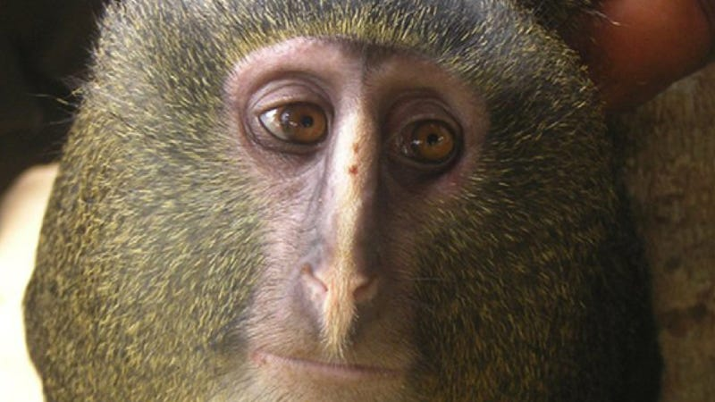 Illustration for article titled So this new species of monkey looks exactly like Alan Tudyk