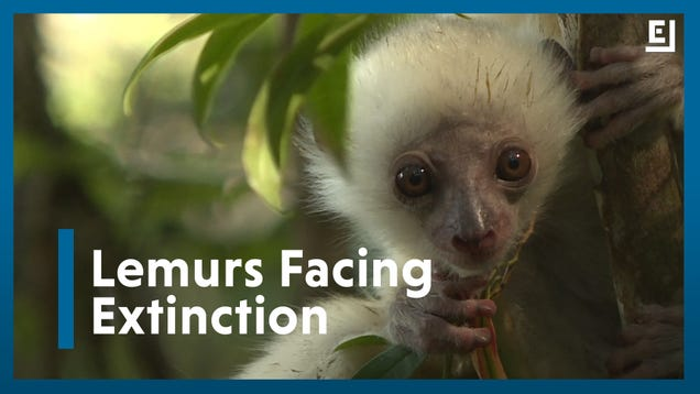 The World Will Lose Madagascar's Lemurs Without Action