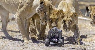 Illustration for article titled Ennél jobb oroszlánfotók ma már nem lesznek!