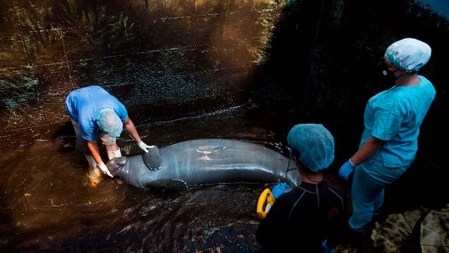 These Manatees Are Returning to the Ocean After Years in Captivity