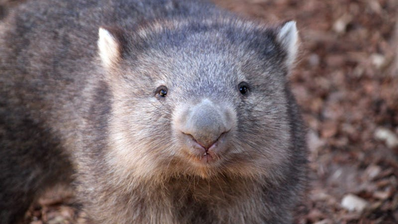 We Finally Know How Wombats Produce Their Distinctly Cube-Shaped Poop