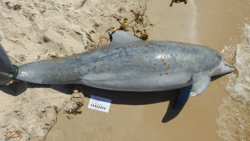 NOAA Investigates Surge in Dead Dolphins Along the Gulf Coast