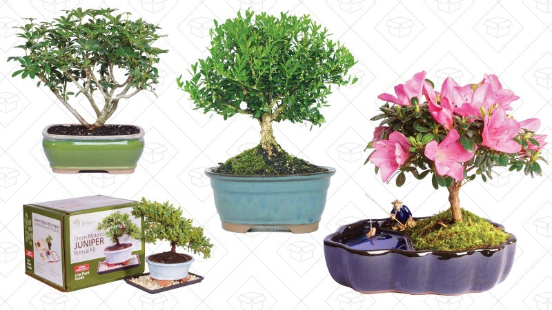 085aea9baf62f Teach Yourself The Art of Bonsai With This Amazon Gold Box