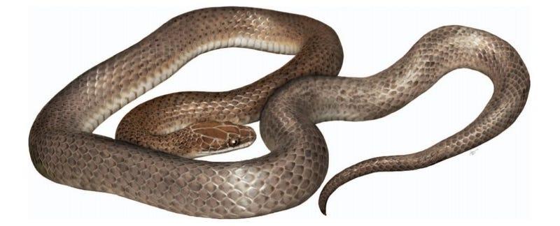 Illustration for article titled Descubren una nueva especie de serpiente en el estómago de otra serpiente
