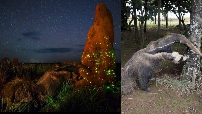La imagen ganadora del Wildlife Photographer of the Year junto a una foto del oso hormiguero disecado que fue enviada por terceros