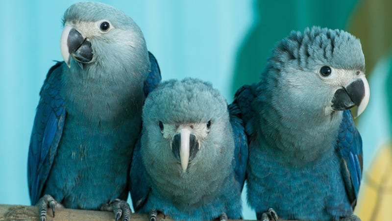 Some Spix's macaws in captivity.