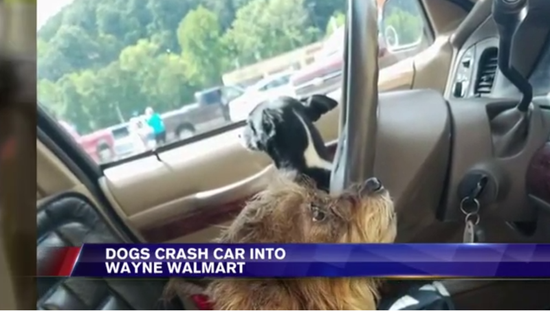 Illustration for article titled Tiny Dogs Drive Car Into Walmart, Locals Stunned