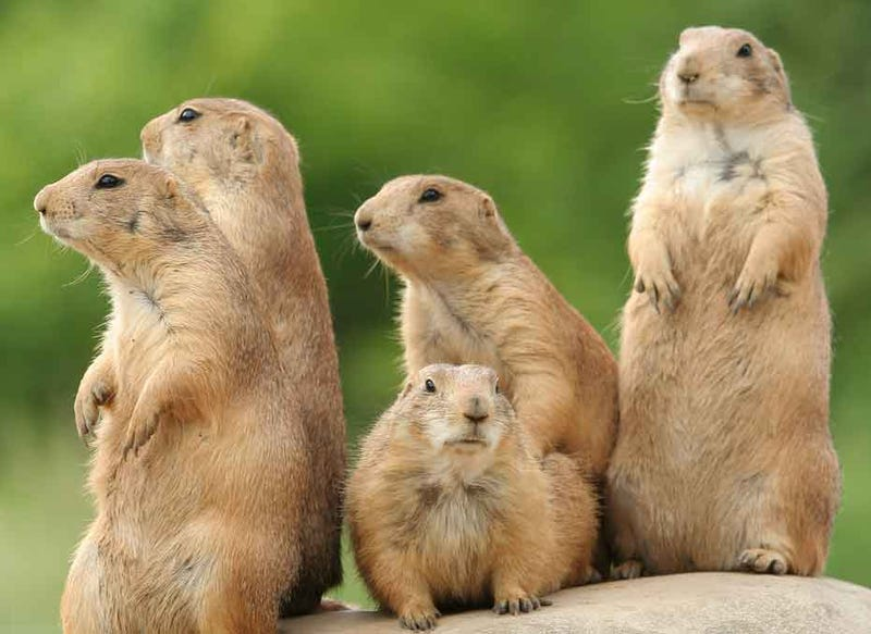 Illustration for article titled Soon, you might be able to talk to a prairie dogs.