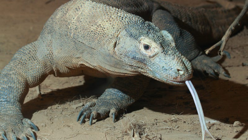 Illustration for article titled The Komodo dragon's bite isn't infectious, after all