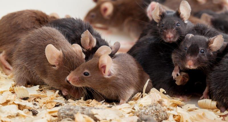 Así fue Universo 25: el paraíso artificial para ratones que terminó en distopía aterradora
