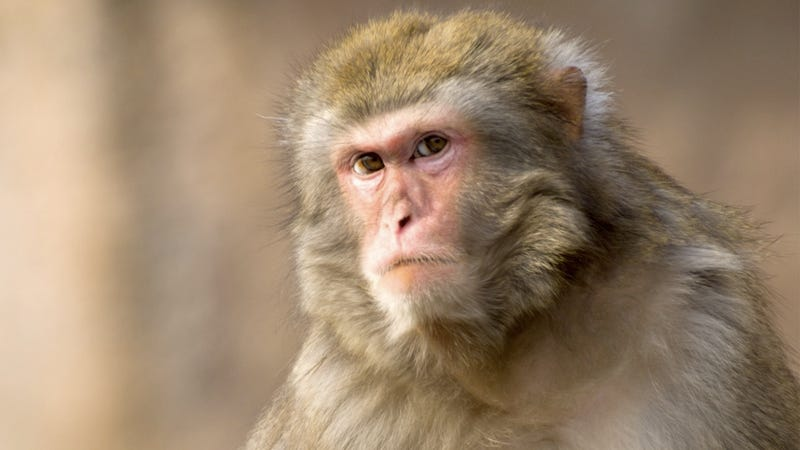Illustration for article titled Monkey Attacks Woman in Florida, Is Now on the Lam