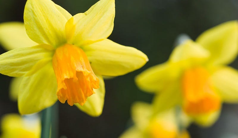 Illustration for article titled Daffodils Are Getting Revenge on Florists With Ground-Up Kidney Stones