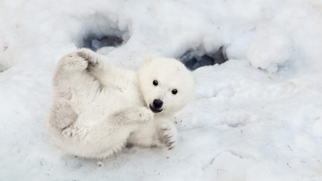 Calm Your Election-Related Anxiety By Spending Some Time With Polar Bears