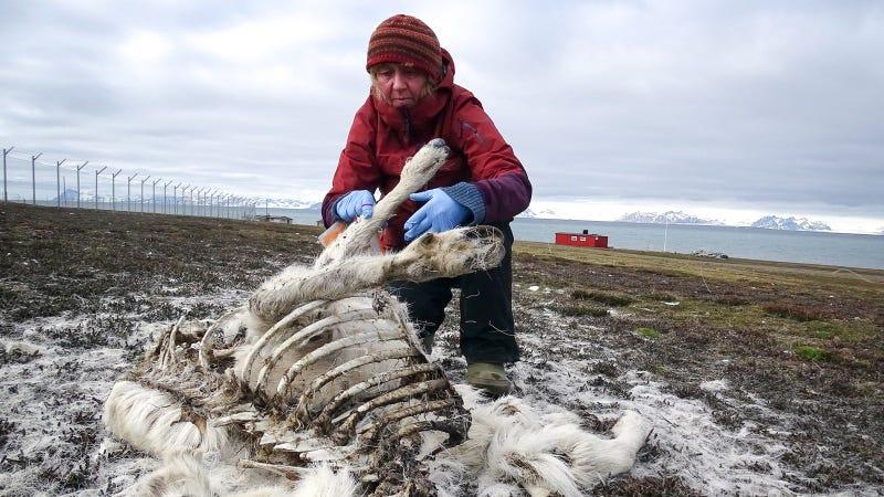 NPI researcher Åshild Ønvik Pedersen investigating reindeer remains.