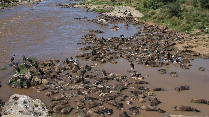 Each year, thousands of migrating wildebeest drown in the Mara River, providing an important source of nutrients for both aquatic and terrestrial scavenging animals of the Serengeti. (Image: Amanda Subalusky)