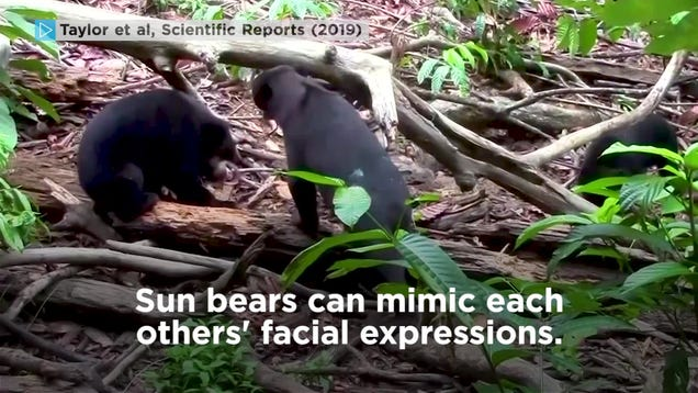 Surprise! Sun Bears, Like Dogs and Humans, Mimic Each Other s Faces