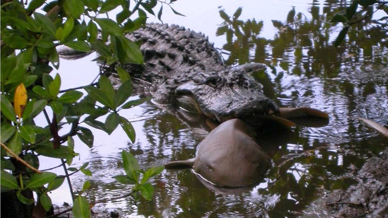 "An American Alligator chomping down on a nurse shark. (Image: U.S. Fish and Wildlife Service J.N. ""Ding"" Darling National Wildlife Refuge)"