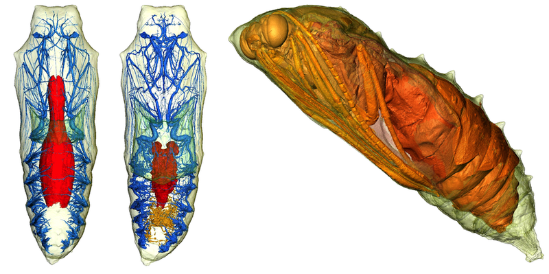 Illustration for article titled 3-D Imaging Shows a Caterpillar Becoming a Butterfly