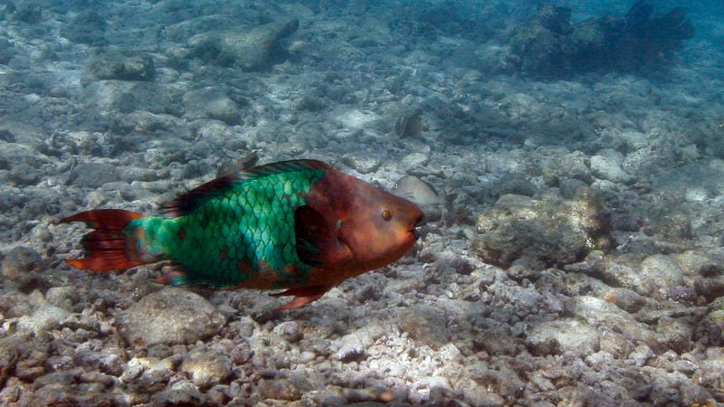 A parrotfish swims over a dead coral reef in the Florida Keys National Marine Sanctuary near Key West back in August 2008.