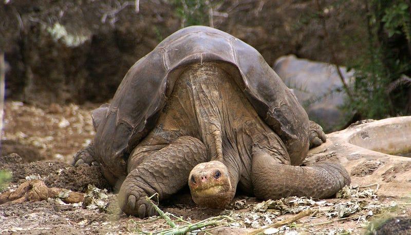 Illustration for article titled Belviszályt szült Ecuadorban a döglött teknős