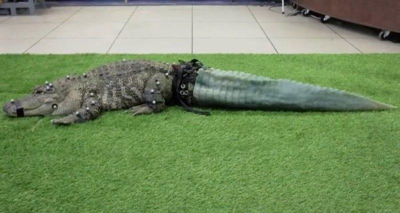 Este cocodrilo perdió su cola con unos traficantes de animales ...