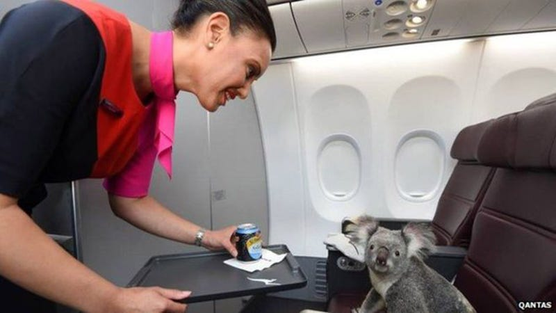 Illustration for article titled These Koalas Don't Give a Shit About Traveling First Class
