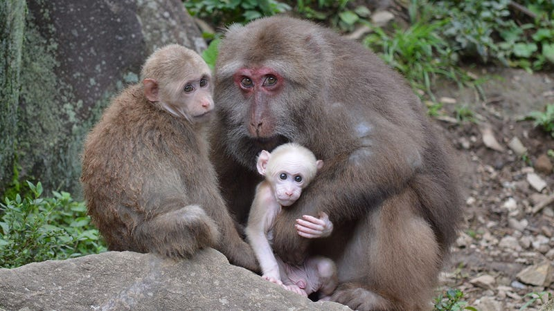 Wild macaques in Mt. Huangshan in the Anhui Province of China.