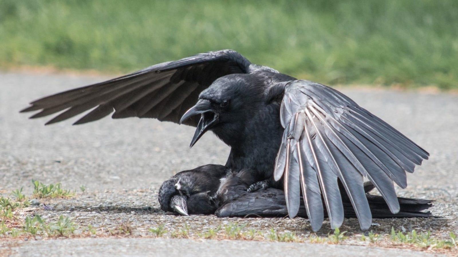 Por qué los cuervos tienen sexo con sus muertos