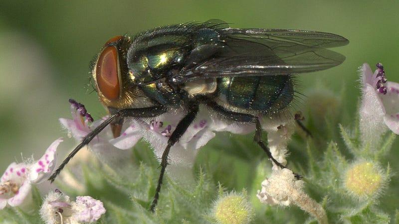 A screwworm fly. (Image: Wikimedia/Edibobb)