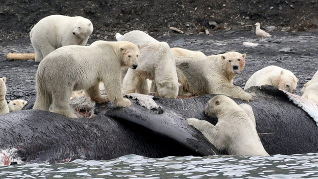 Why Hungry Polar Bears Could Start Devouring Dead Whales
