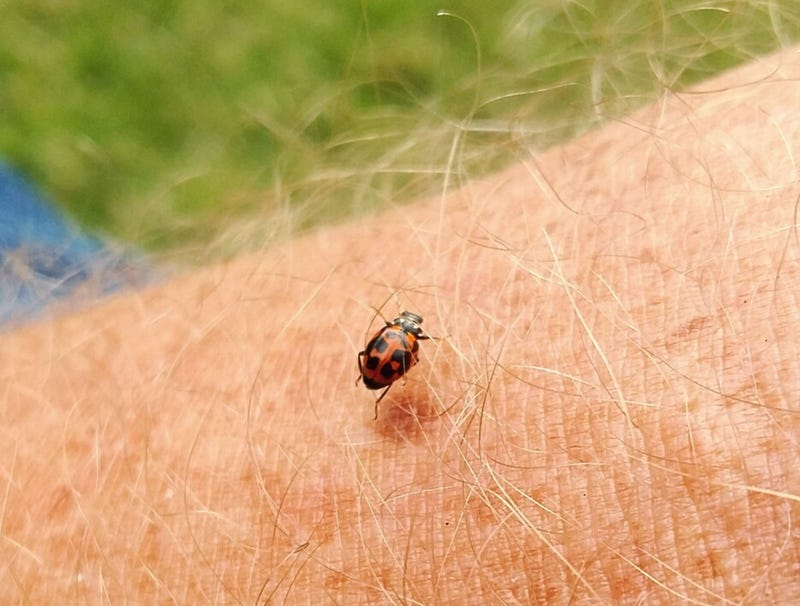 Illustration for article titled Threat Level Downgraded As Insect Revealed To Be Ladybug