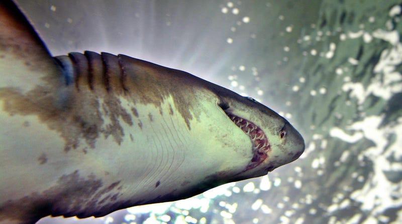 La asombrosa historia del tiburón en un acuario que escupió un brazo humano intacto