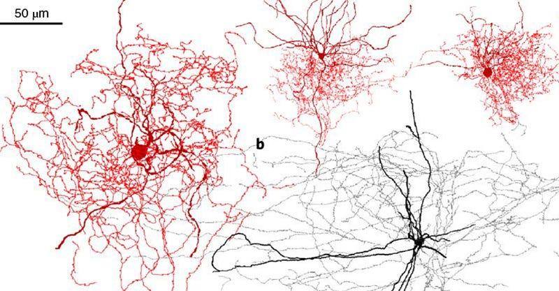 Illustration for article titled Identifican un nuevo tipo de neurona exclusiva del cerebro humano que podría influir en la percepción