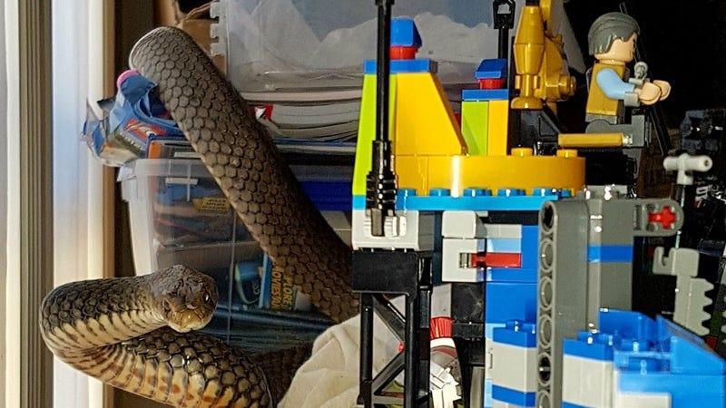 Imagen: Gold Coast and Brisbane Snake Catchers / Facebook