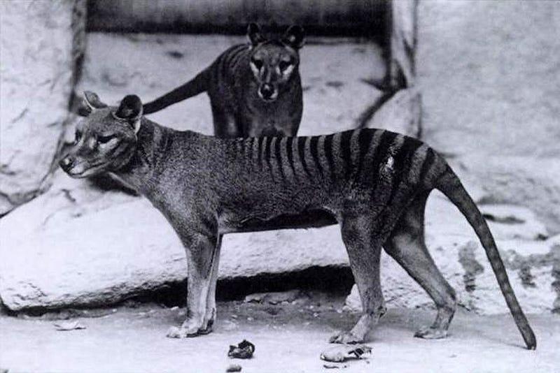 Dos tilacinos en cautividad, poco antes de su extinción. Foto: Wikipedia