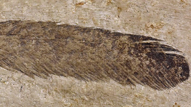 First Dinosaur Feather Ever Discovered Isn t What Scientists Thought