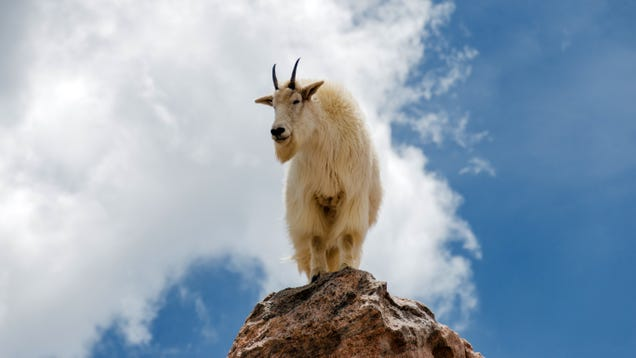 Loved Ones Talk Down Goat Standing On Mountain's Edge