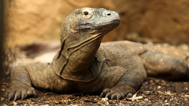 Illustration for article titled Pit Of Komodo Dragons Shocked To Discover Billionaire Who Owns Them Is Just 26