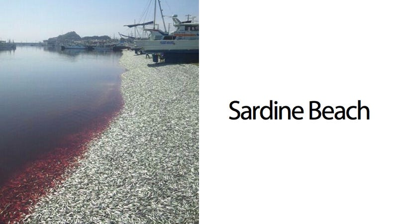 Illustration for article titled This Beach Is Made from the Blood and Bodies of 200 Tons of Dead Sardines