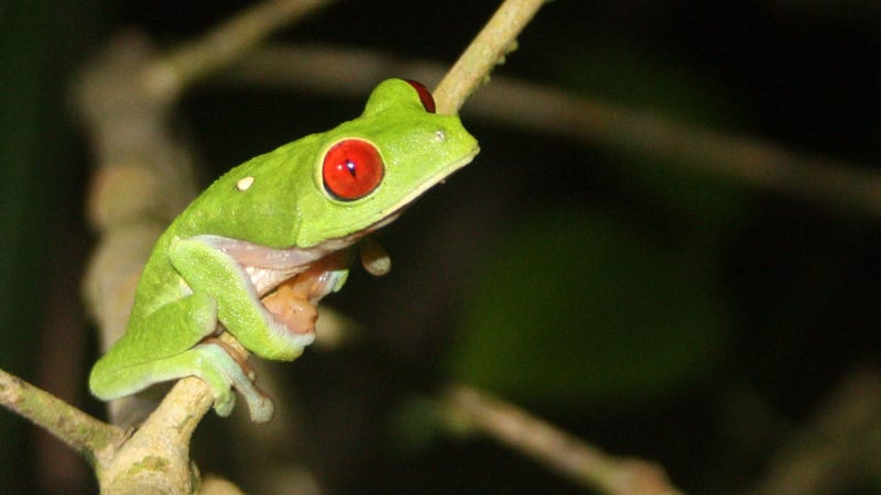 Red-eyed tree frog (Wikimedia)