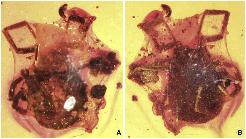 Top and bottom views of the encased tick.