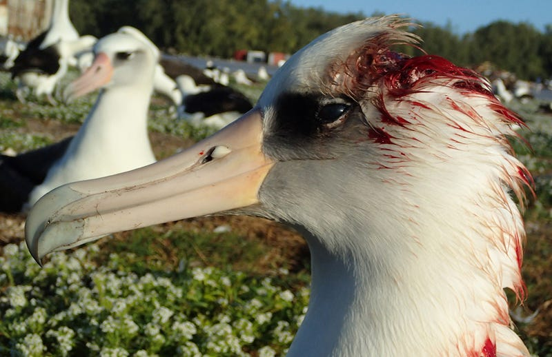 Illustration for article titled Los ratones comunes han comenzado a atacar a los albatros de esta isla para beber su sangre