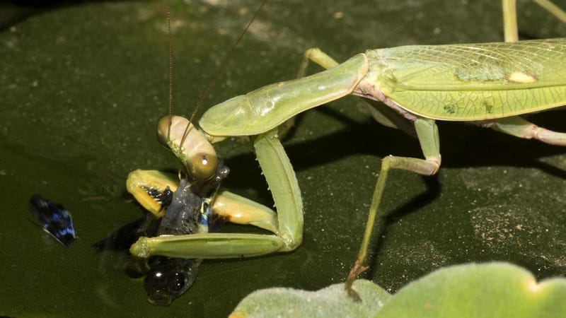 The male mantis devouring a guppy.