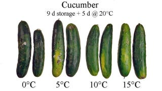 Illustration for article titled Store Cucumbers at Room Temperature So They'll Last Longer