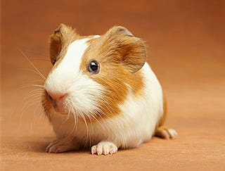 Illustration for article titled Guinea Pig Returned For Store Credit
