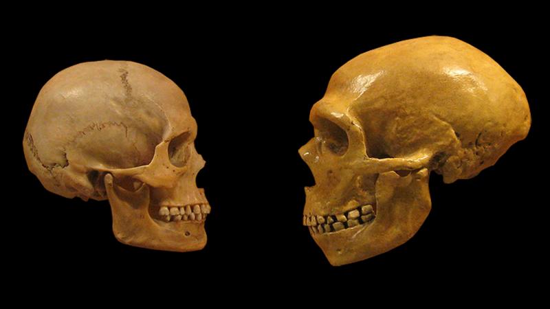 Left: Skull of Homo sapiens. Right: Skull of Neanderthal.