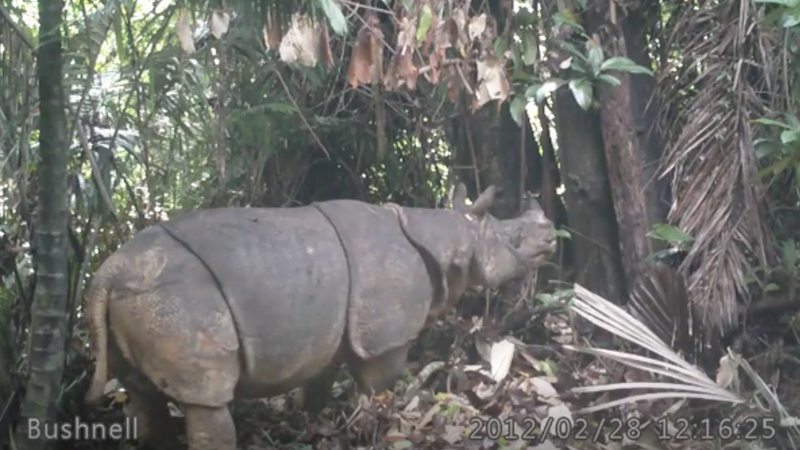 A Javan rhino spotted on camera trap footage in 2012.